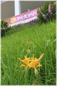 130914E 025黄ヒガンバナ