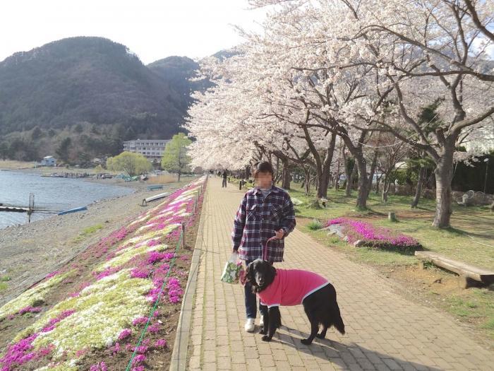 河口湖と桜1