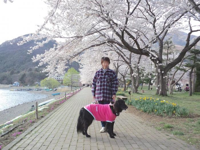河口湖と桜2
