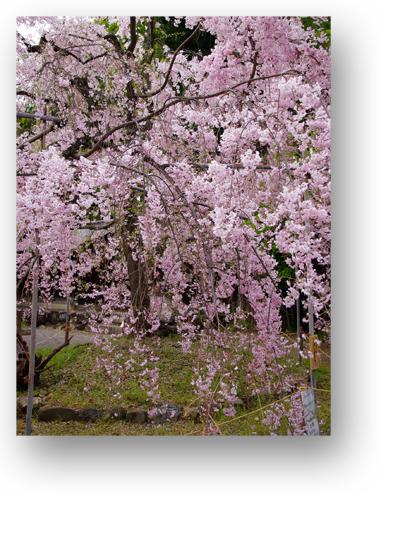 平野神社130406_edited-1
