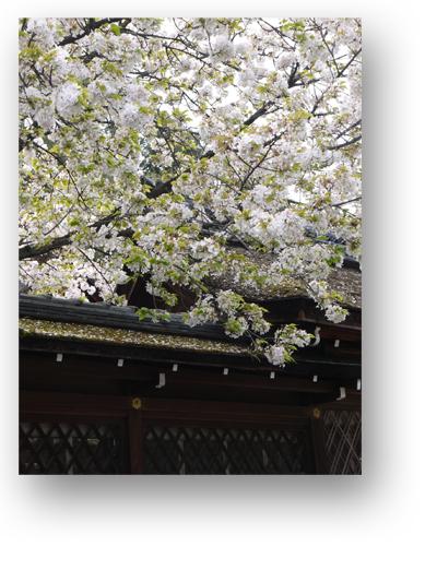 平野神社130403_edited-1
