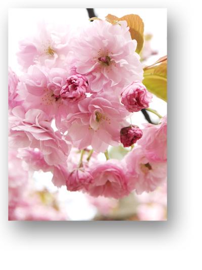 平野神社130404_edited-1