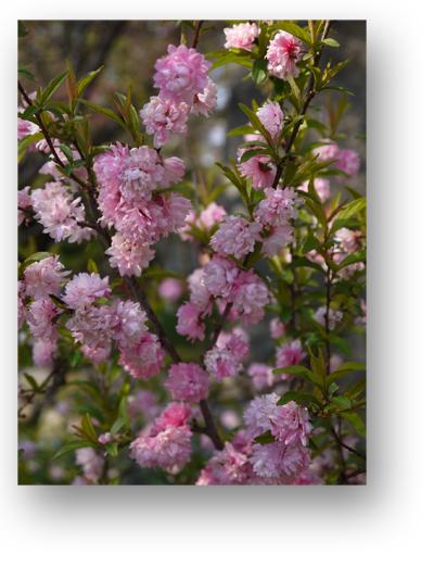平野神社130405_edited-1