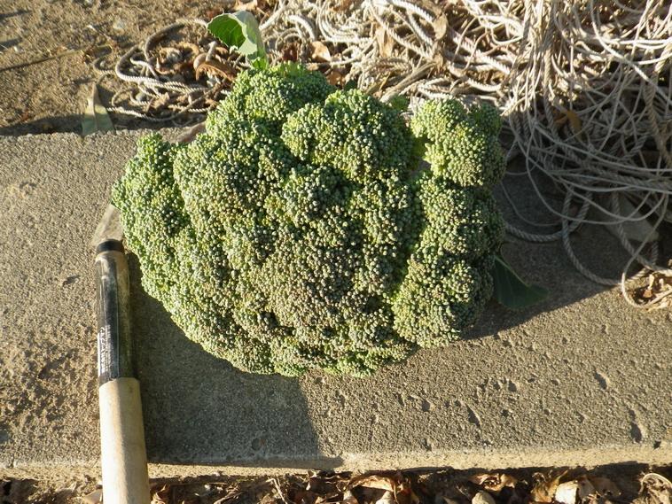 収穫ブロッコリー13_11_30