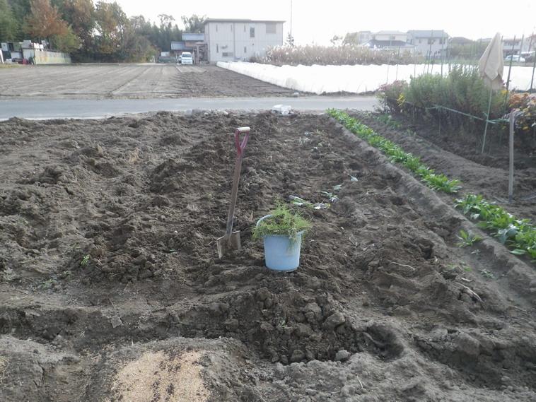 日野菜収穫後13_12_01