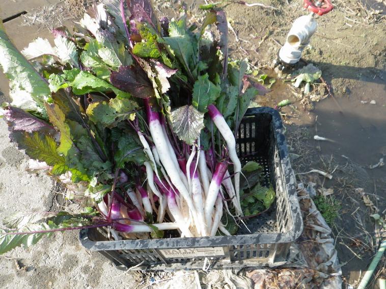 日野菜収穫13_12_01