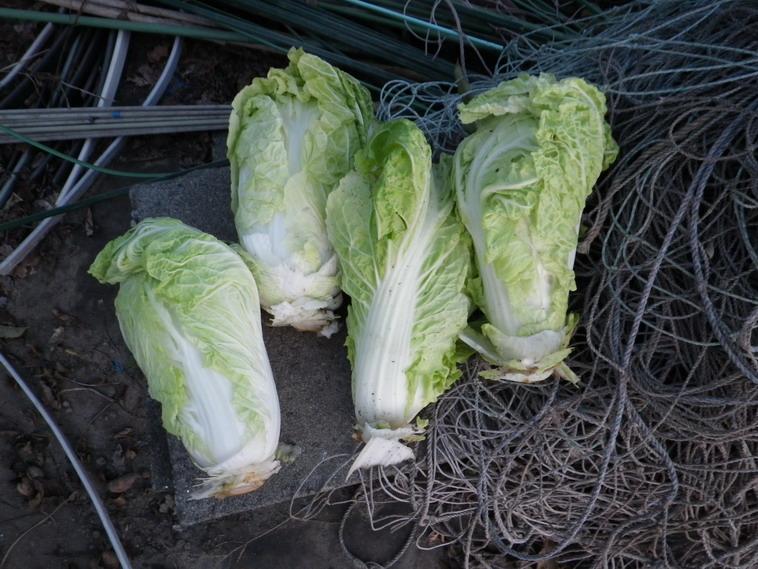 収穫白菜13_12_01