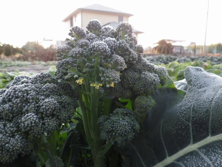 ブロッコリーの花13_12_09