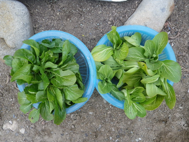 収穫葉物2_14_01_18