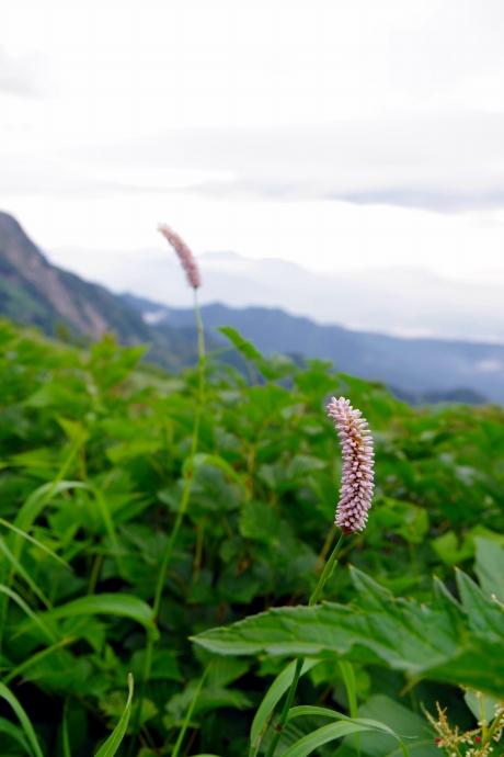 201308爺ヶ岳~鹿島槍ヶ岳のお花たち02