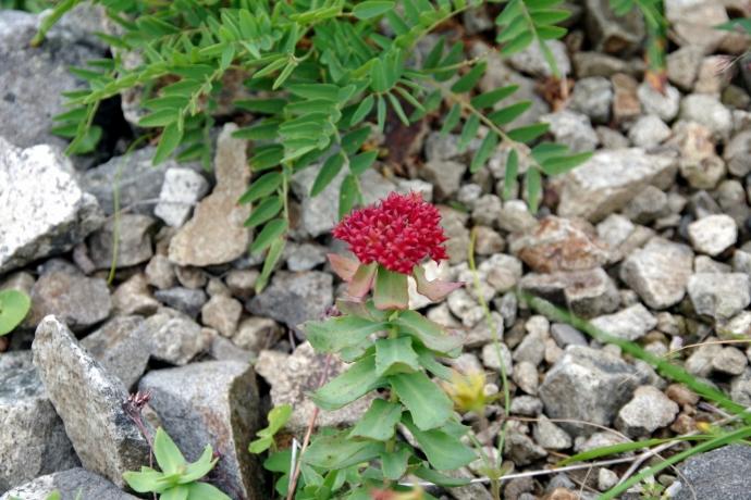 201308爺ヶ岳~鹿島槍ヶ岳のお花たち05