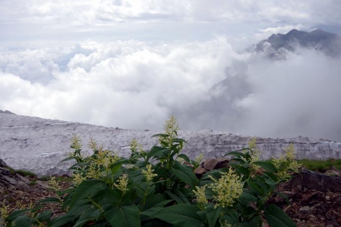 2013爺ヶ岳~鹿島槍ヶ岳のお花たち09