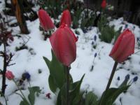 F チューリップ 雪の中で 130421_cIMG_1166