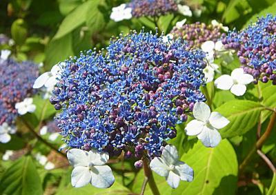 130608紫陽花