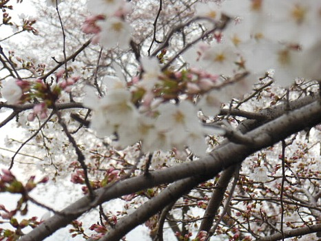 空堀川の桜アップ1