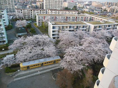 電車図書館と桜