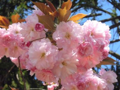 新メニューと桜 1