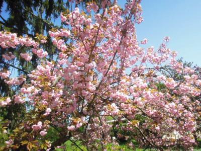 新メニューと桜 2