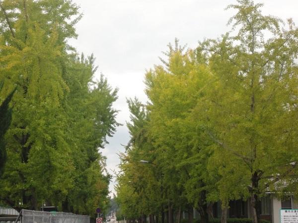 岡大の銀杏並木