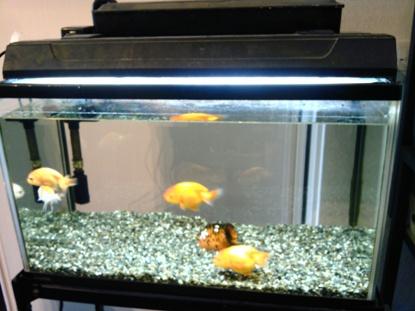 金魚 (1)