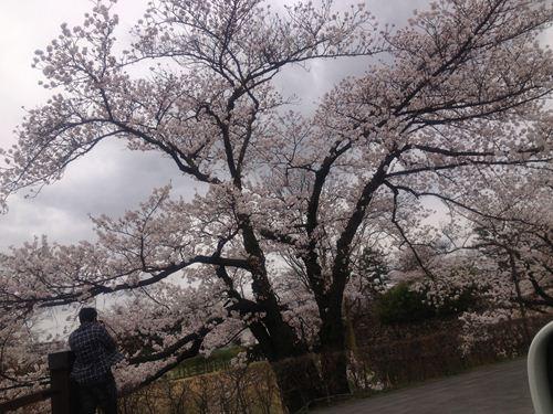 松本城さくら