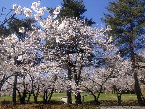 雪の後の桜3