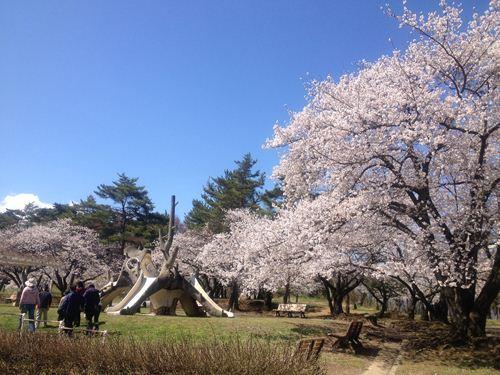 雪の後の桜1