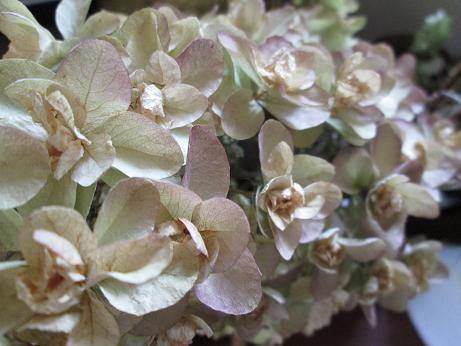 dried pink kawashiba