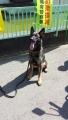 警察犬のシェパード