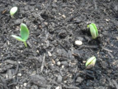 家庭菜園 005