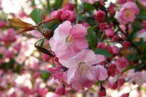 カイドウ(海棠)の花言葉 | 花言葉の手帖|はなこと
