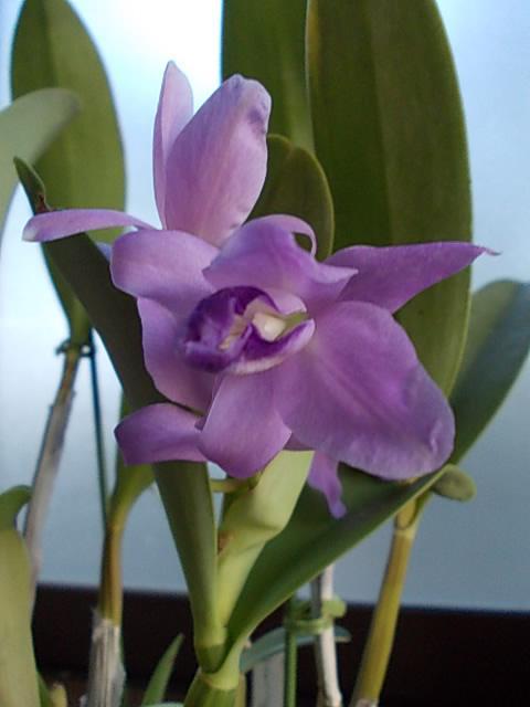 C. boringiana fma. coerulea 20131001