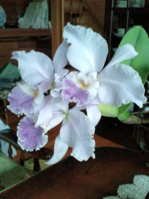 Cattleya warneri fma. coerulea 20130725