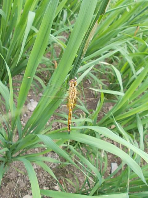 Dragonfly 20130728-2