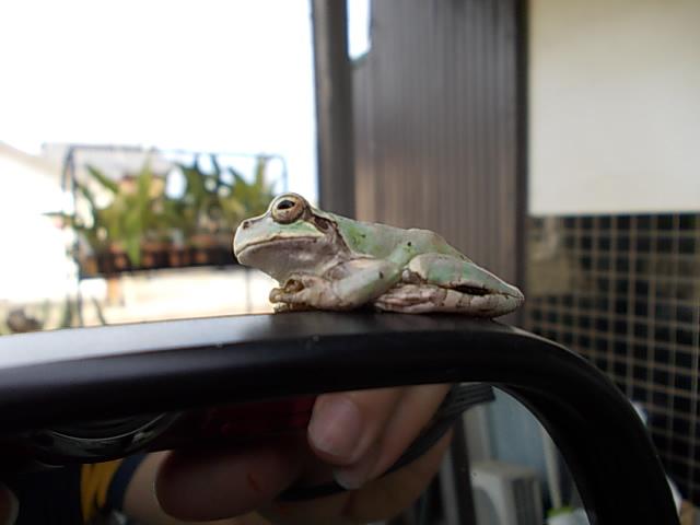 Amagaeru frog 20130821