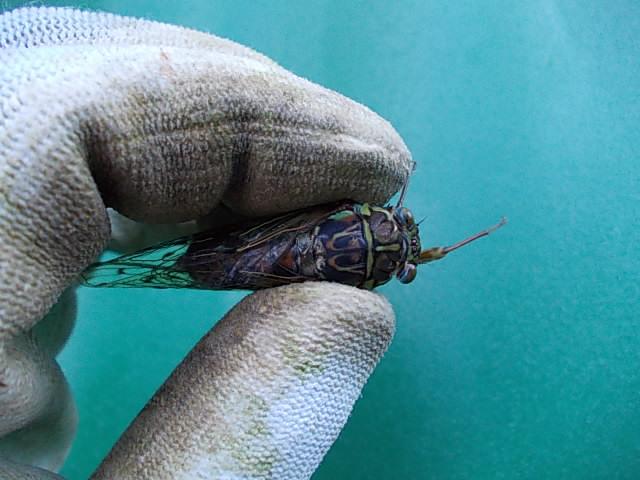 Higurashi cicada 20130716