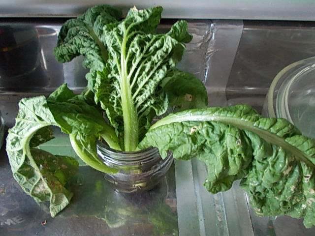 Katsuona spinach 20131005