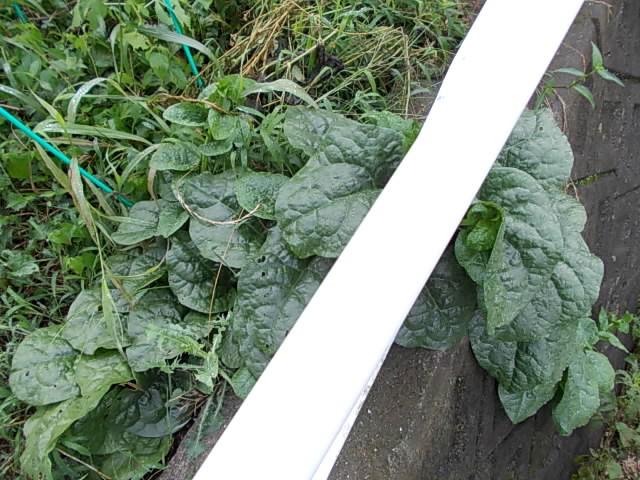 Tsurumurasaki spinach 20130803