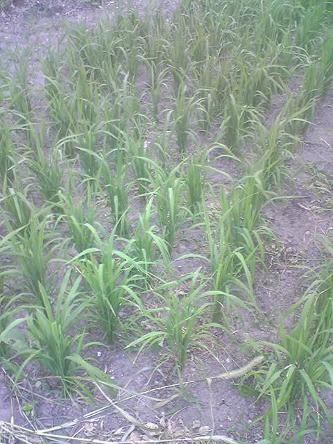 Upland rice 20130721