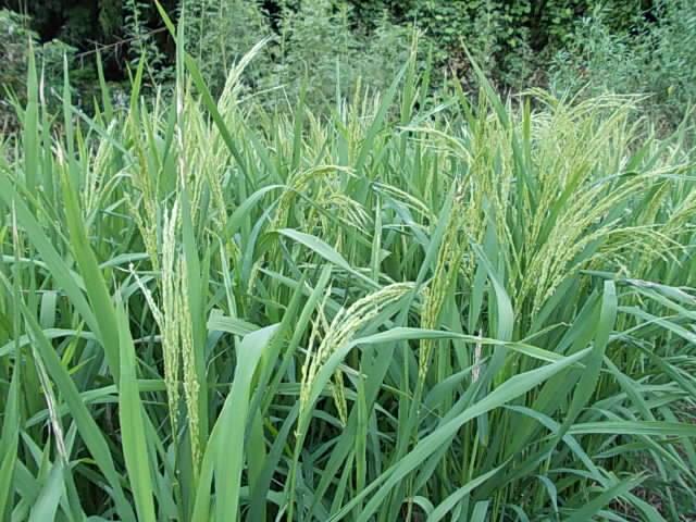 Upland rice 20130827