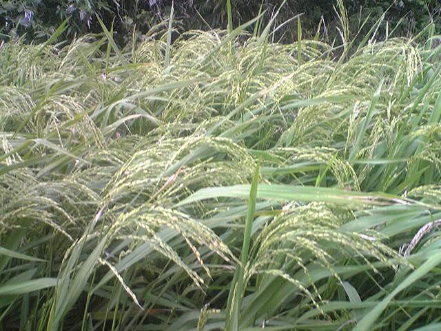 Upland rice 20130908