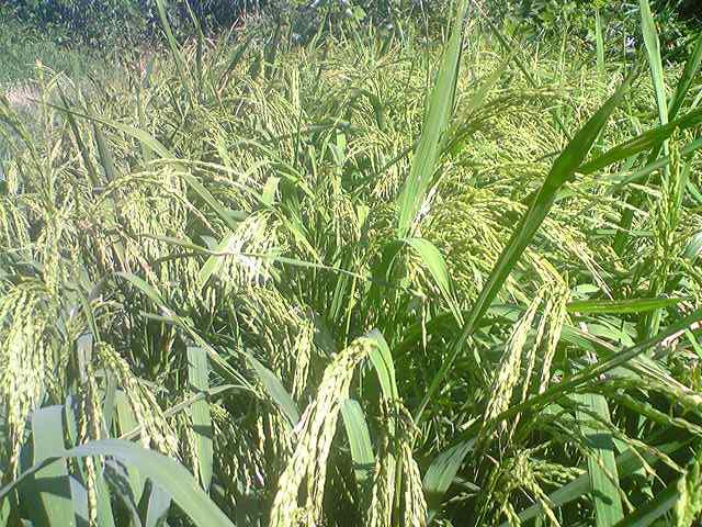 Upland rice 20130910