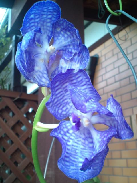 Vanda coerulea 'Heavenly Blue' 20130829