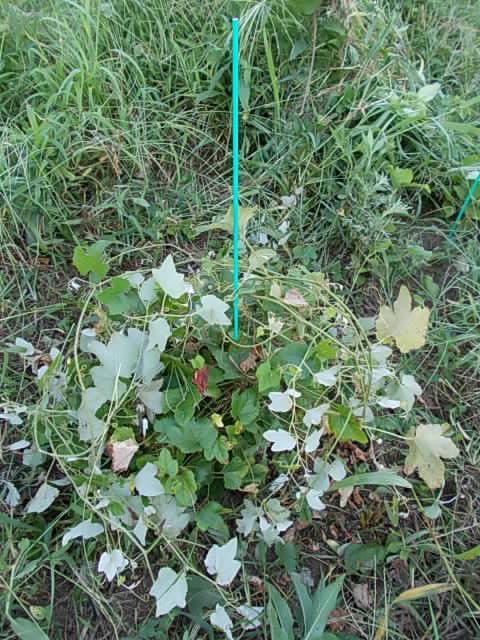 Vitis ficifolia var. lobata 20130724