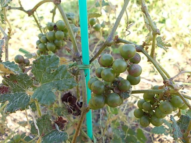 Vitis ficifolia var. sinuata 20130919-3