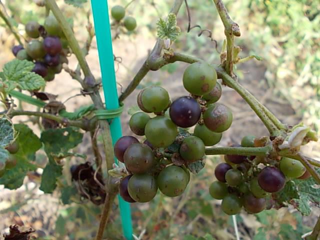 Vitis ficifolia var. sinuata 20130925