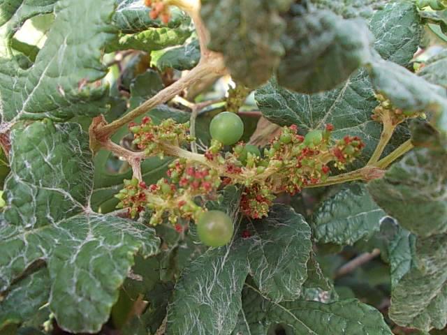 Vitis ficifolia var. sinuata 20131003