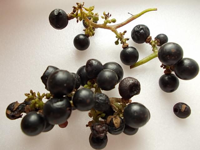 Vitis ficifolia var. sinuata 20131004