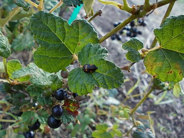 Vitis ficifolia var. sinuata 20131027-2
