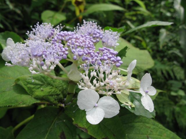 07タマアジサイ花